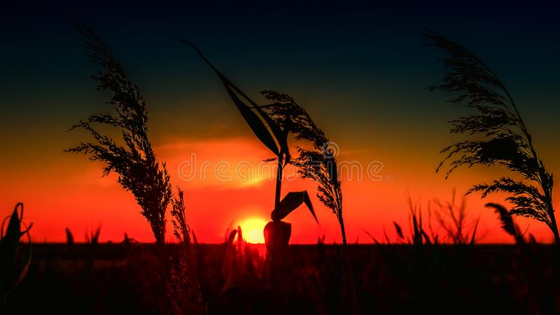 Silhouetted wheat at sunset stock images