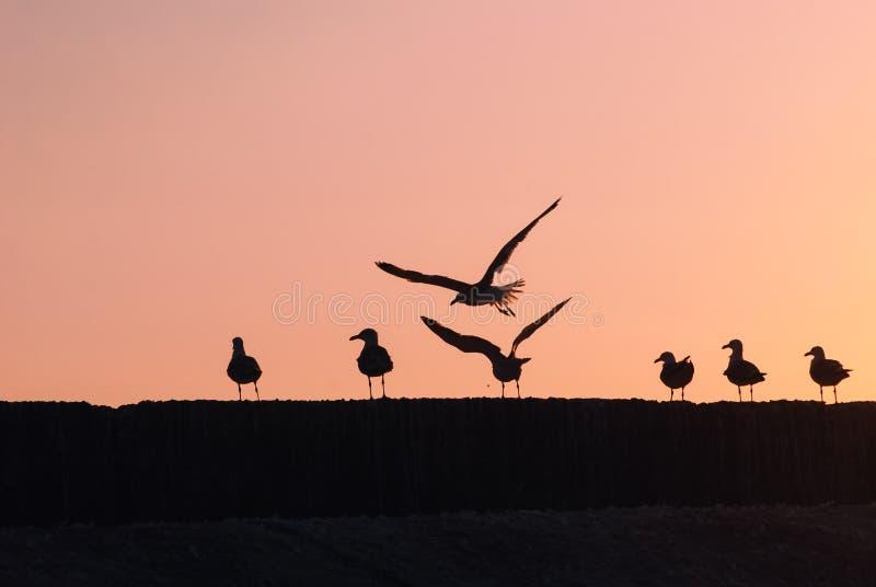 Silhouetten van een troep van zeemeeuwen bij zonsondergang, karmozijnrood zonsonderganglicht, stock foto's