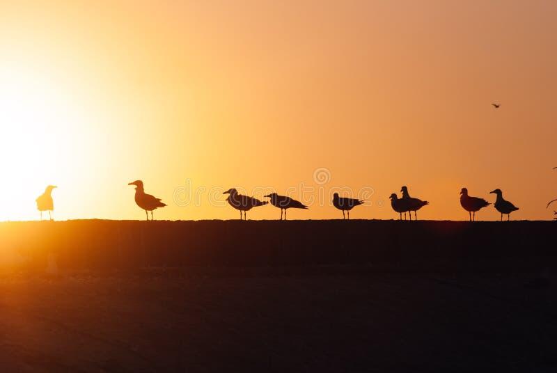 Silhouetten van een troep van zeemeeuwen bij zonsondergang, zeemeeuwen op de kust stock afbeeldingen