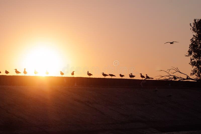 Silhouetten van een troep van zeemeeuwen bij zonsondergang, zeemeeuwen op de kust royalty-vrije stock foto