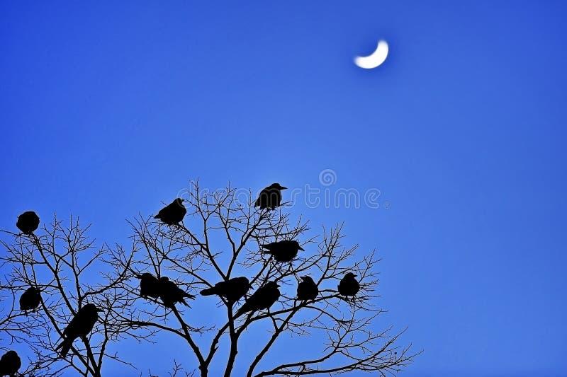 Silhouetten van kraaien in een boom bij schemer stock foto
