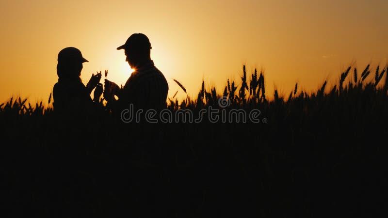 Silhouetten van twee landbouwers op een tarwegebied die korenaren bekijken royalty-vrije stock fotografie