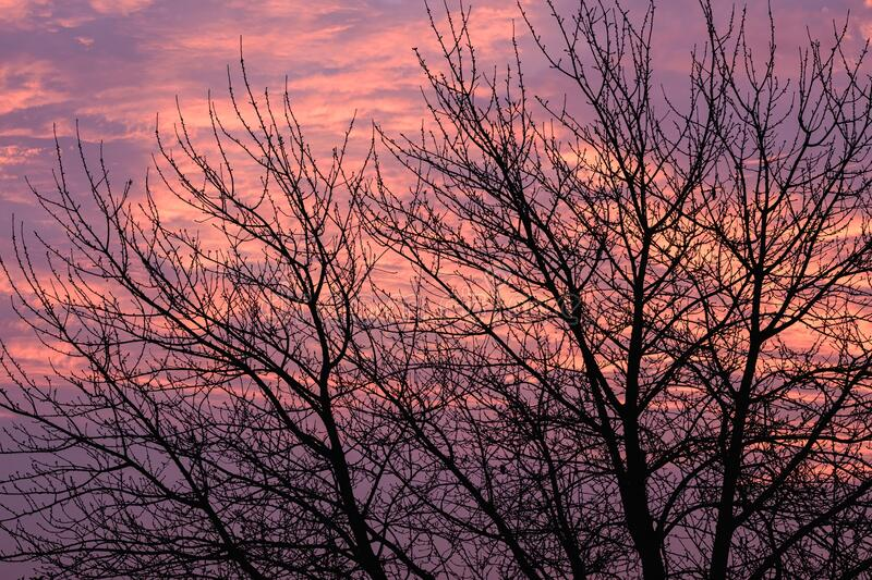 Silhouettes of bare tree branches with a beautiful sunset in the evening on the background. The silhouettes of bare tree branches with a beautiful sunset in the royalty free stock image