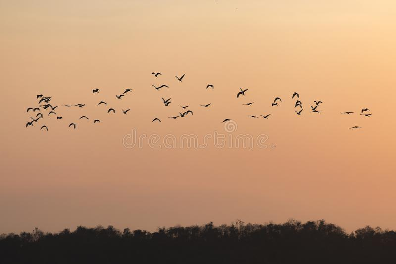 Silhouettes of birds flying with sunset sky go home.  stock photo