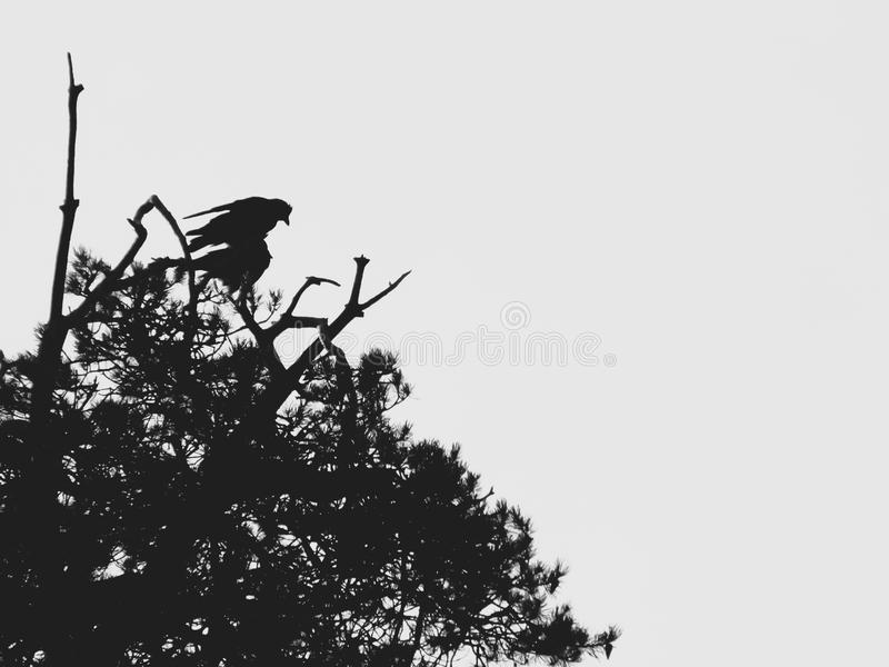 Silhouettes of birds on top of the pine trees against the sky. stock image