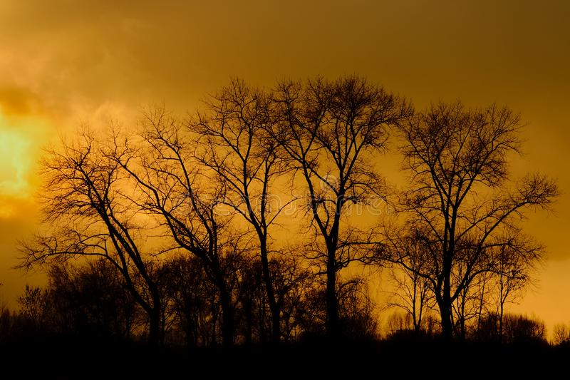 Silhouettes of black locust trees against a cloudy sky in yellow evening light. Silhouettes of black locust trees against a cloudy sky in deep yellow evening stock image