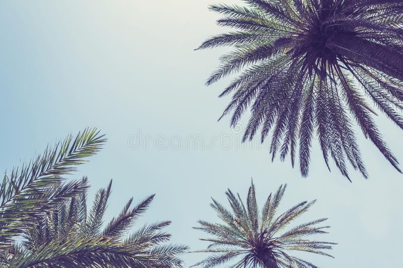 Silhouettes of branches of coconut palms trees under blue sky  Bottom view stock photos