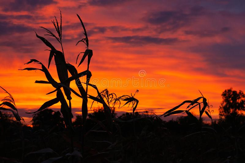 Silhouettes of corn on the background of a beautiful sunset sky stock photo