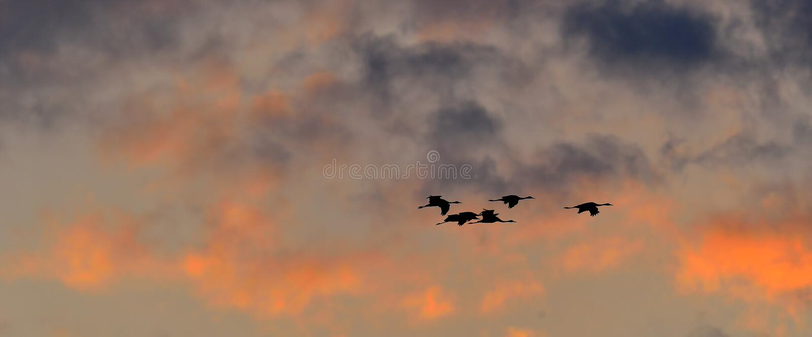 A silhouettes of cranes in flight. Flock of cranes flies at sunset sky background. Common Crane royalty free stock photography