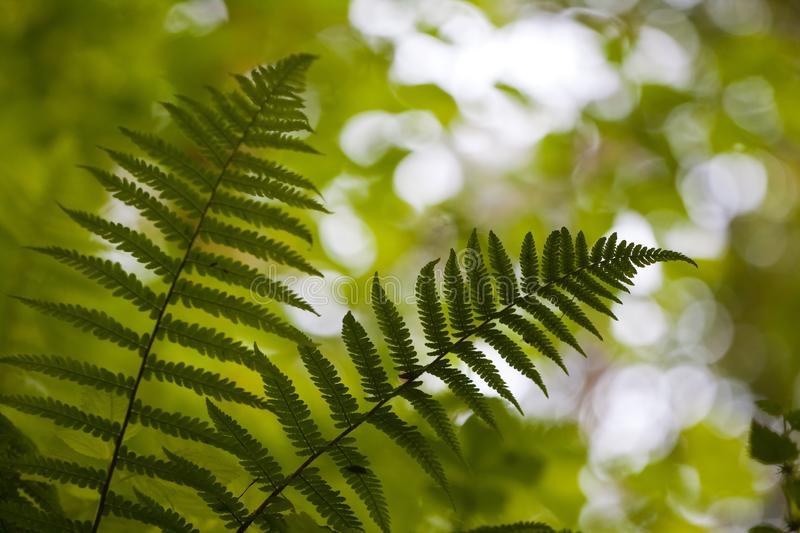 Silhouettes of dark green fern leaves on tender natural forest foliage blurred bokeh background royalty free stock image