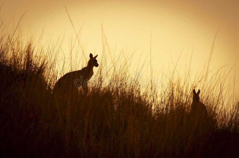 Silhouettes de kangourou photographie stock libre de droits
