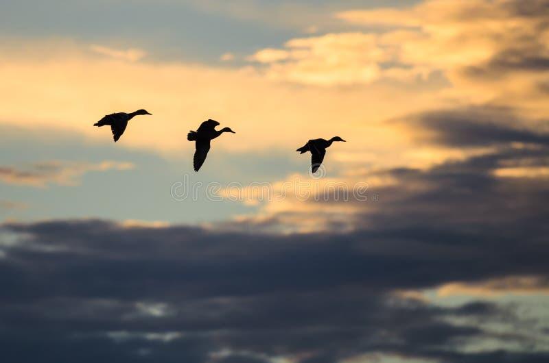Silhouettes de trois canards volant dans le ciel sombre au coucher du soleil image libre de droits