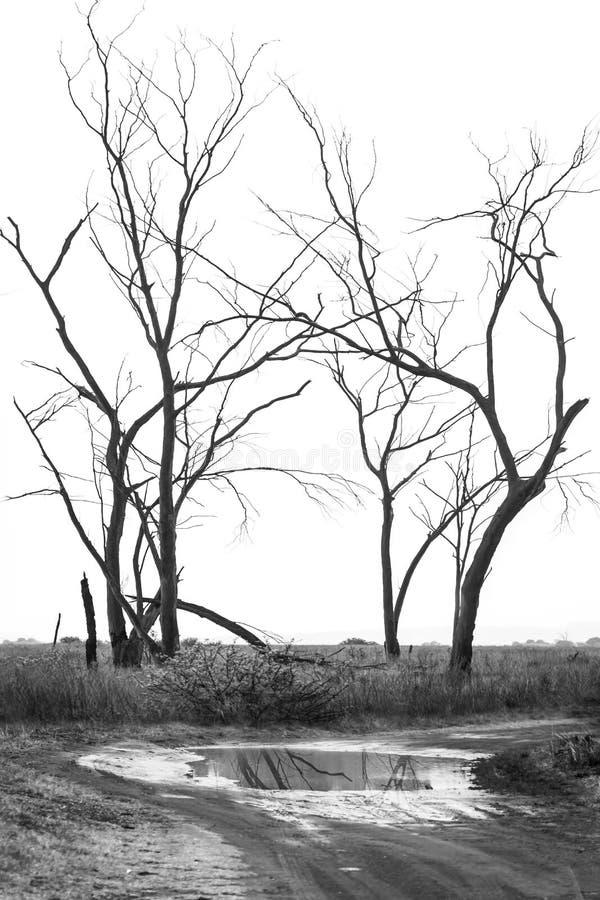 Silhouettes des arbres sur blanc, minimal, noir et blanc image libre de droits