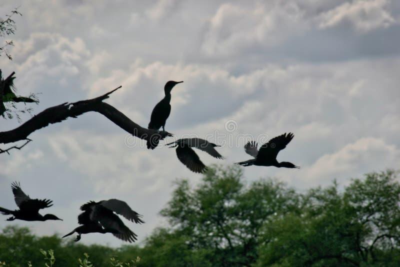 Silhouettes des cormorans en parc national de Keoladeo Ghana au Ràjasthàn, Inde image libre de droits