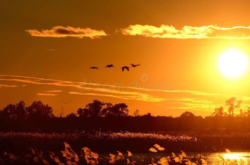 Silhouettes des grues de Sandhill en vol au coucher du soleil image stock