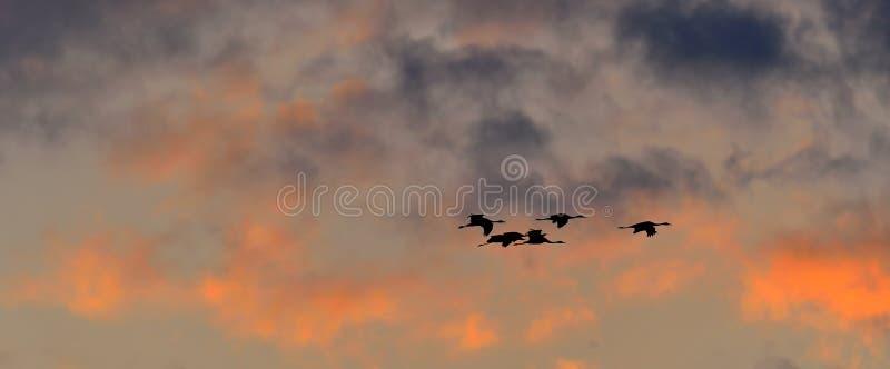 Silhouettes des grues en vol Troupeau des mouches de grues au fond de ciel de coucher du soleil Grue commune photographie stock libre de droits
