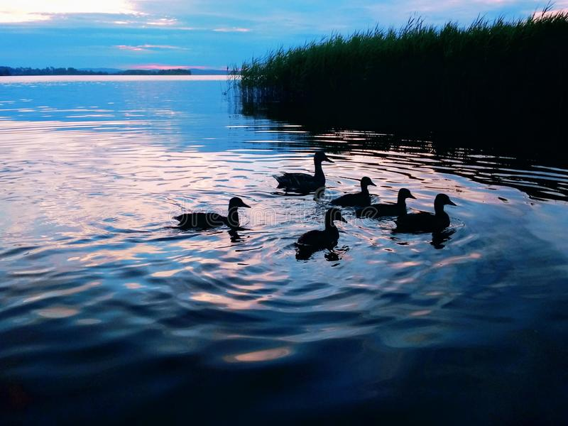 Duck with ducklings at sunset stock photography