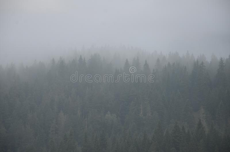 Silhouettes of firs in a dense morning mist in a mountain coniferous forest before dawn stock images