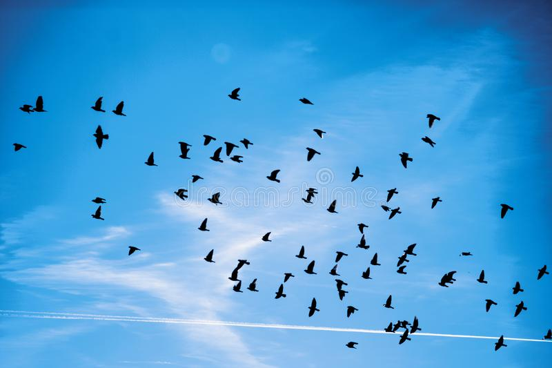 Silhouettes of a flock of pigeons with a blue cloudy background stock photos