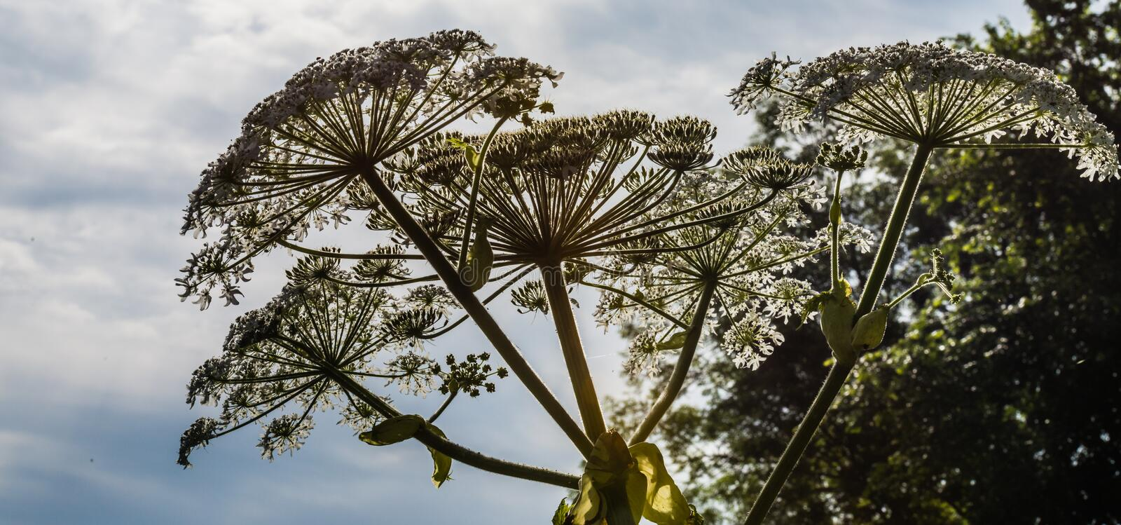 Silhouettes of flowering giant hogweed from close royalty free stock photography