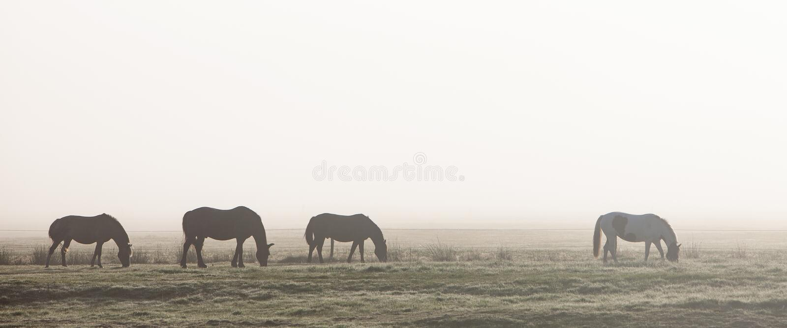 Silhouettes of four horses in morning mist on german countryside of ostfriesland stock photos