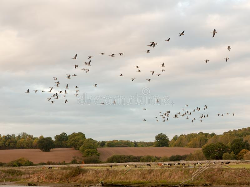 Silhouettes of geese flying above country scene in a line swarm. Flock; Essex; England; UK royalty free stock photo