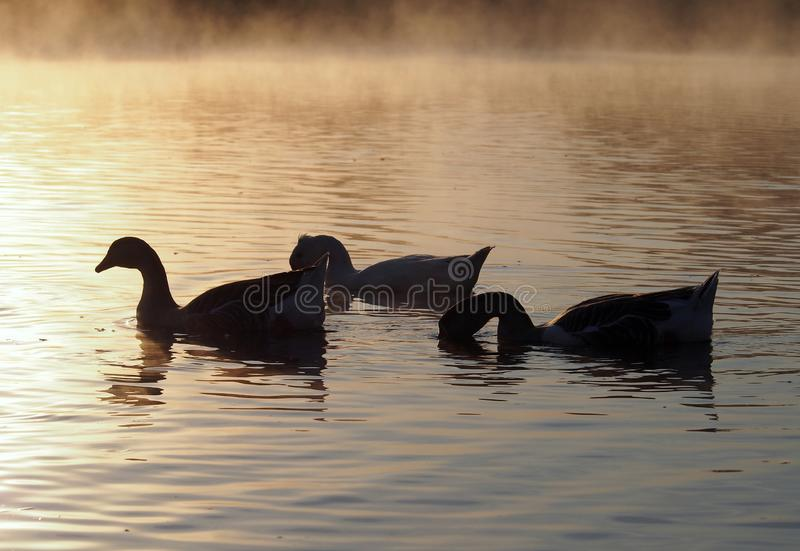 Silhouettes of geese  in the light of the rising sun. Silhouettes of geese sailing in fog in the light of the rising sun royalty free stock photos