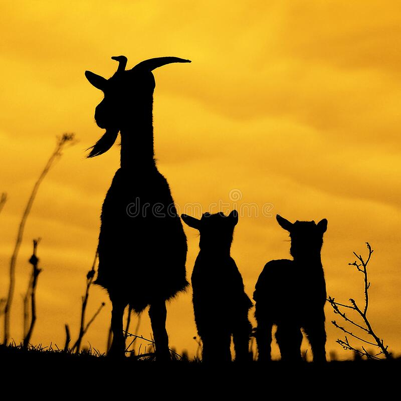 Silhouettes of mother and baby goats on yellow stock photo