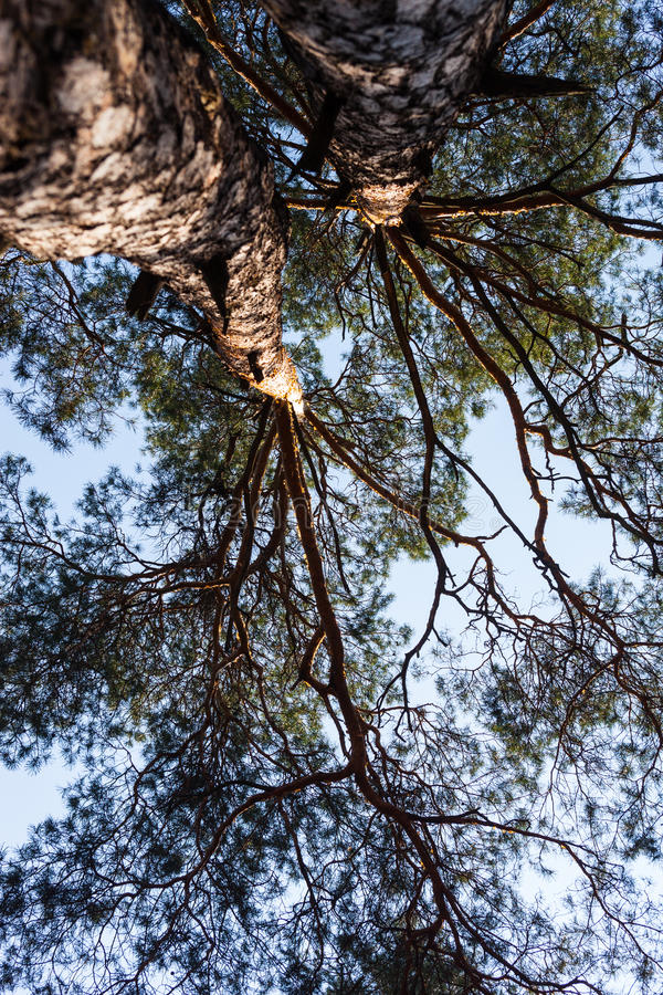 Free Silhouettes Of Two Pine Trees Stock Photo - 41263290