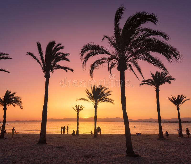 Silhouettes of palm trees against colorful sky at sunset. Tropical landscape with palms on the sandy beach, sea, gold sunlight in the evening in summer in royalty free stock photo
