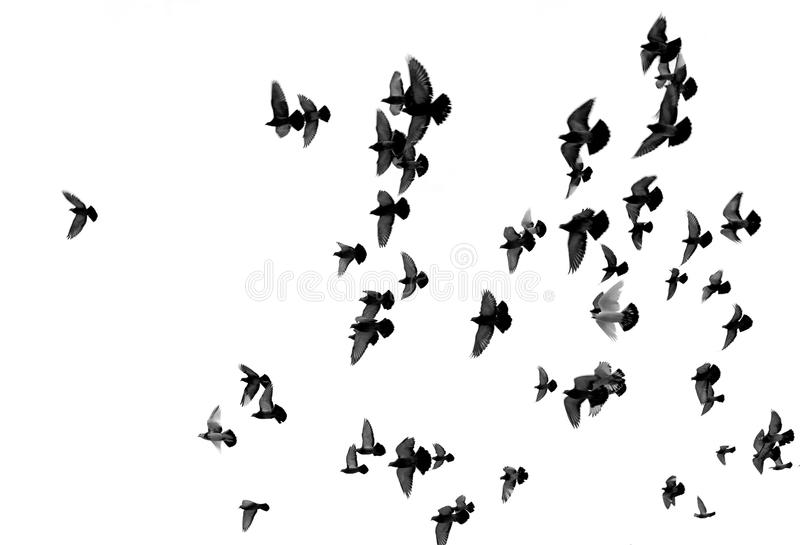 Silhouettes of pigeons. Many birds flying in the sky royalty free stock photography