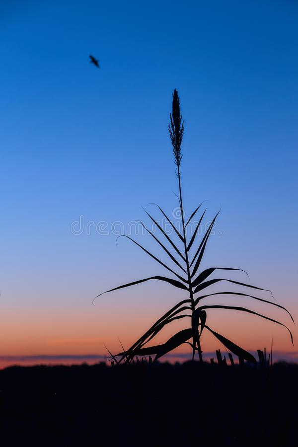 Silhouettes of reed in the background of the rising sun. Beautiful dawn with silhouettes of reed against a background of clear sky stock photos