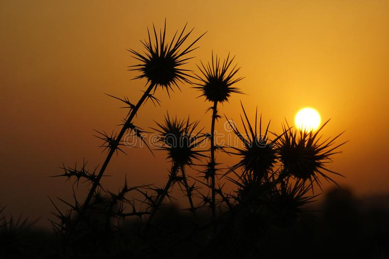 The silhouettes of thorn bushes. In the sunrise stock photo
