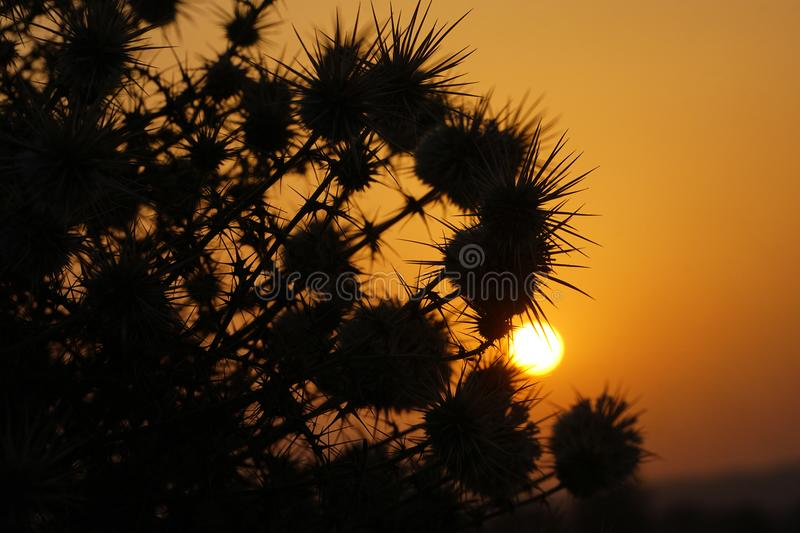 The sunrise and silhouettes of thorn bushes. The silhouettes of thorn bushes in the sunrise royalty free stock images