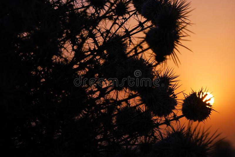 The sunrise and silhouettes of thorn bushes. The silhouettes of thorn bushes in the sunrise royalty free stock photo