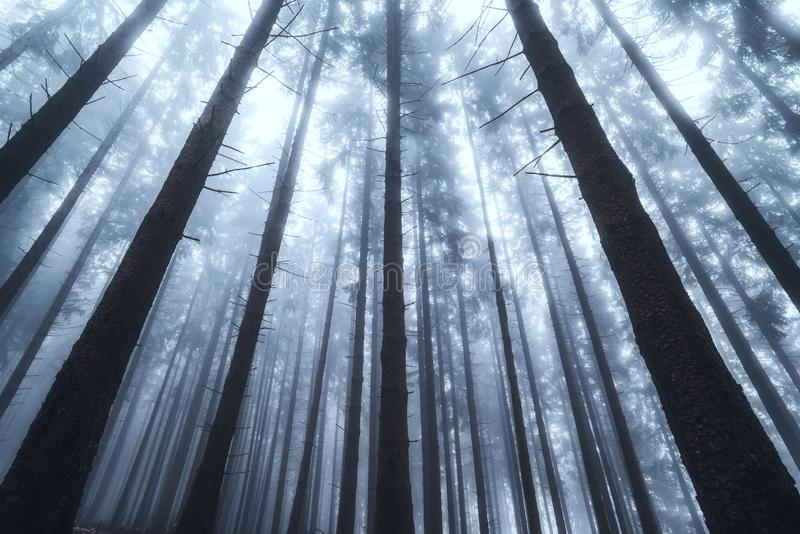 Silhouettes of tree trunks in a dark and foggy autumn forest. Creepy natural background. stock photo