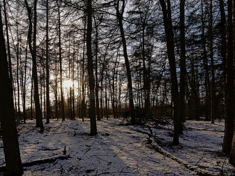 Silhouettes of trees in a winter spruce forest with snow on the floor against a settig sun. Castling long shadows in Bourgoyen nature reserve, Ghent, Flanders royalty free stock photos