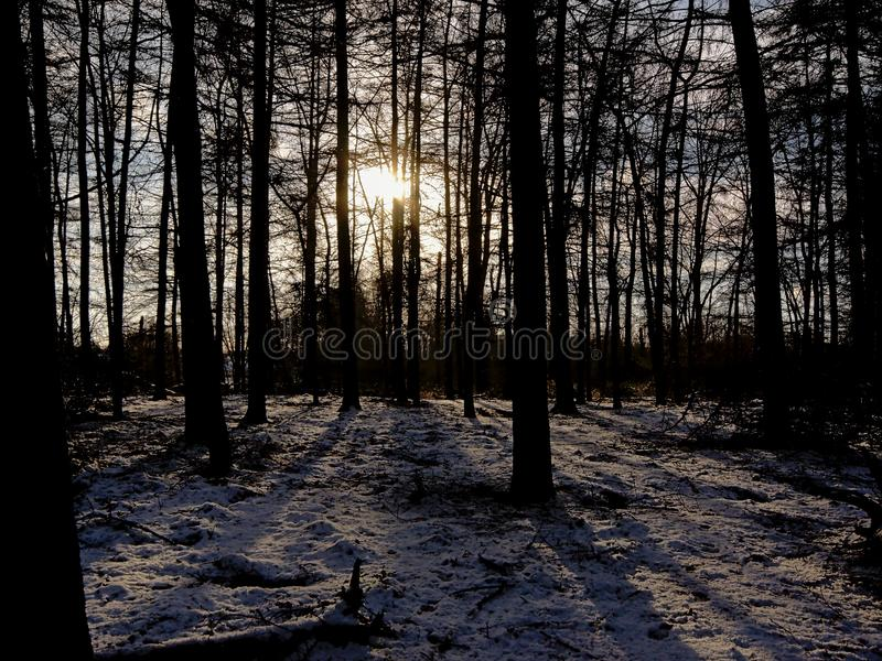 Silhouettes of trees in a winter spruce forest with snow on the floor against a settig sun. Castling long shadows in Bourgoyen nature reserve, Ghent, Flanders stock photography