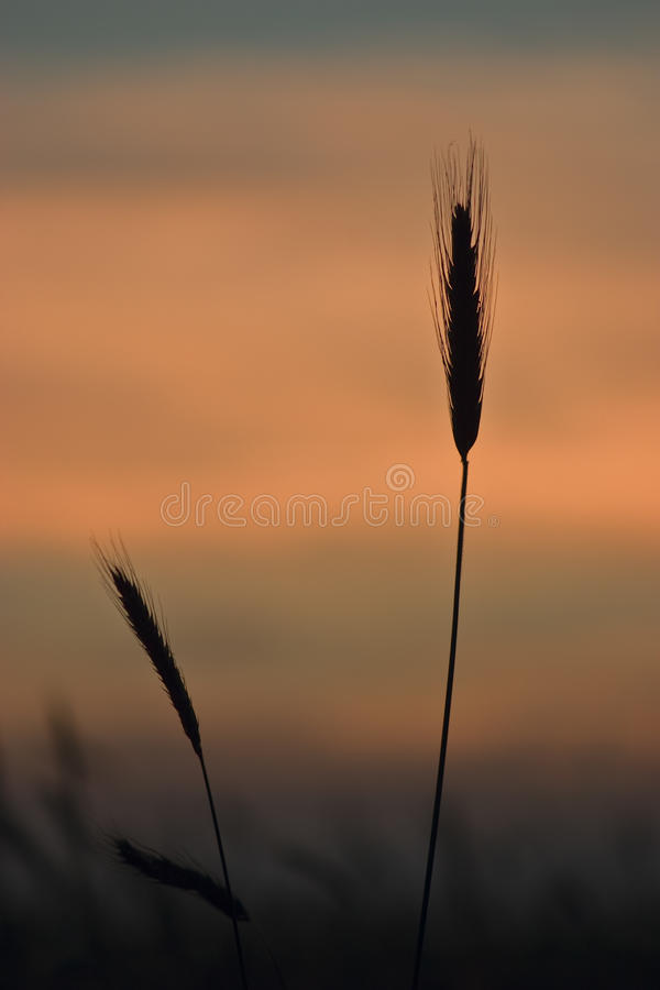 Silhouettes Of Wheat-ears Stock Photos