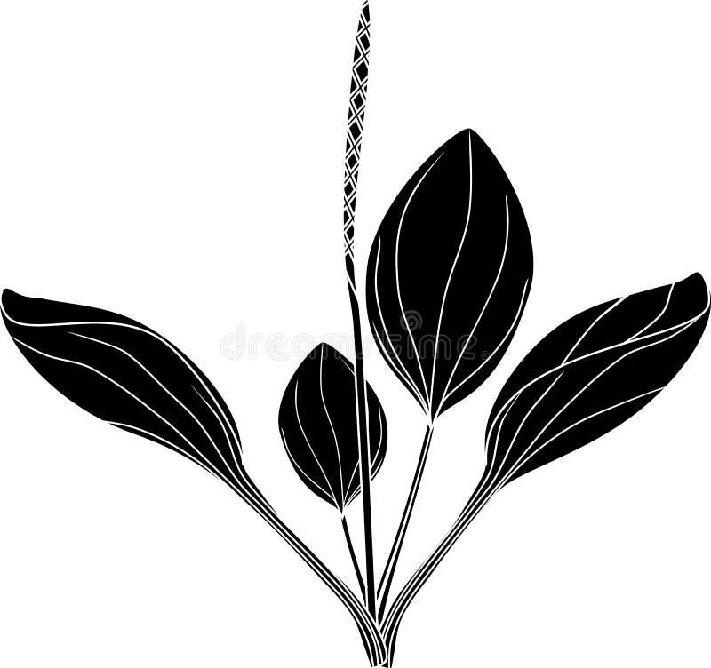 Silhouettez d'un plus grand plantain ou commandant de Plantago illustration libre de droits