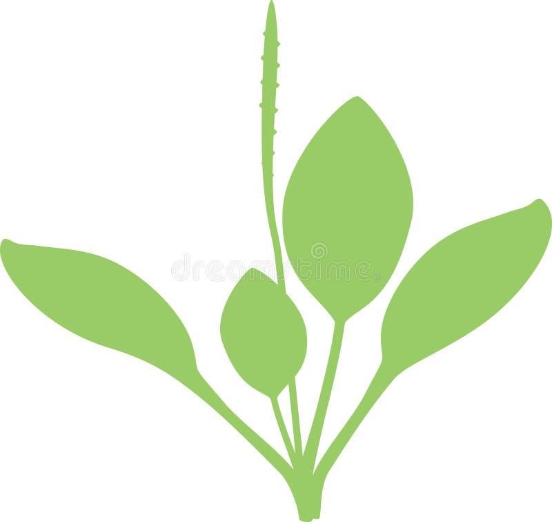 Silhouettez d'un plus grand plantain ou commandant de Plantago illustration de vecteur