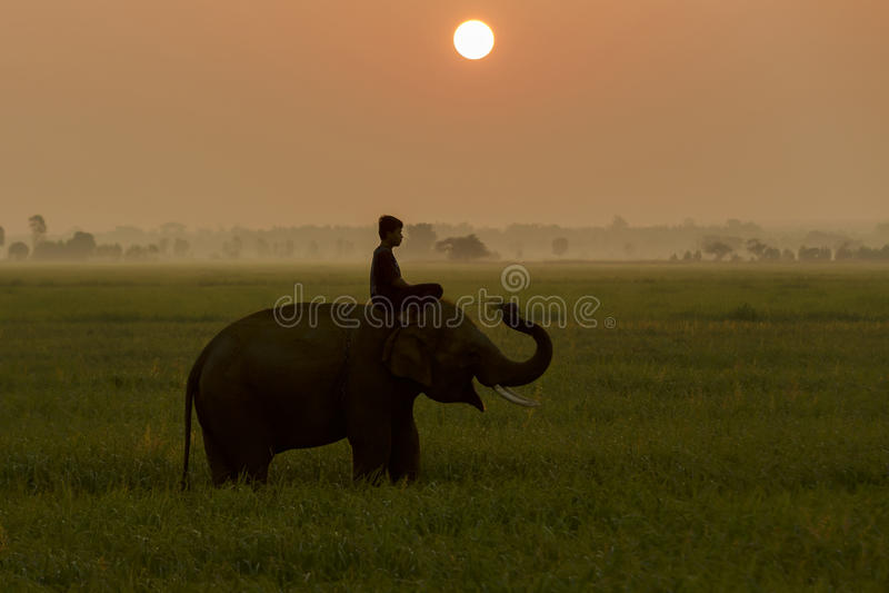 Silhouettez l'action de l'éléphant dans le domaine de riz au coucher du soleil, Surin, Tha photographie stock