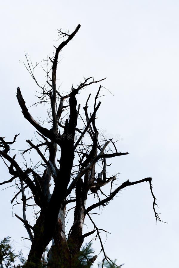 Silhoutte d'arbre sans feuilles avec le fond propre images libres de droits