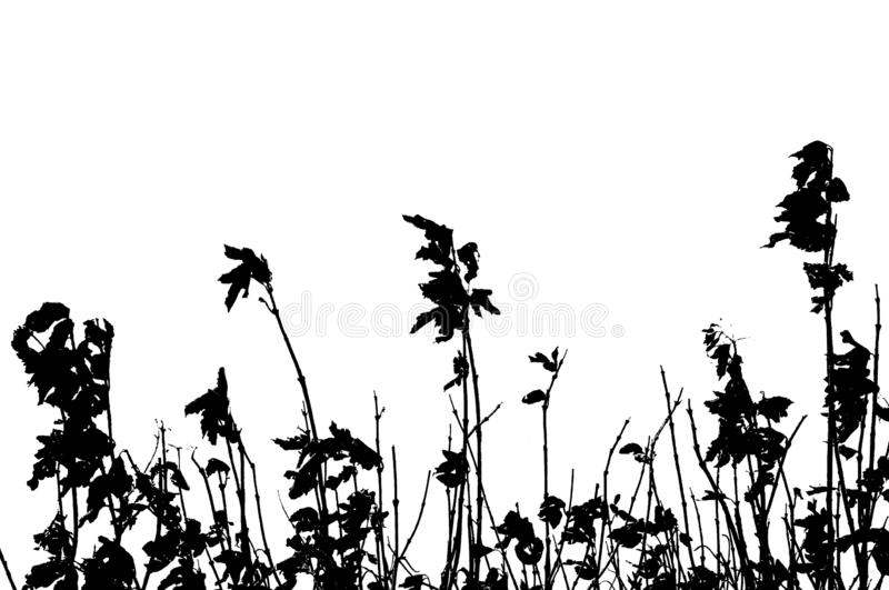 Silhoutte of dried rose bushes stock photos