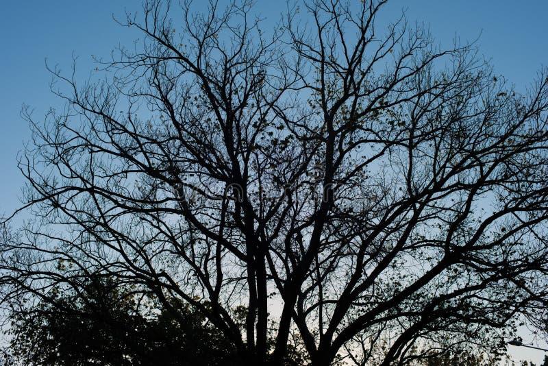 Silhoutte foncé d'un arbre sans feuilles contre un ciel bleu image stock
