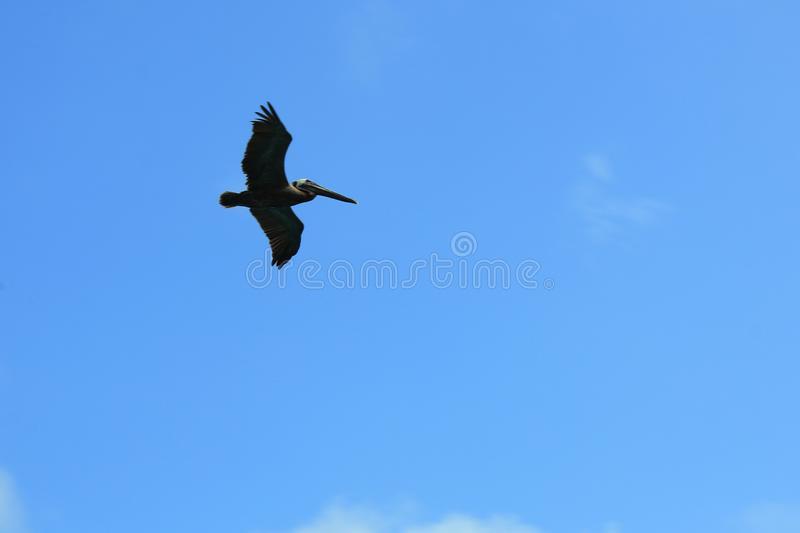 A silhoutte of a large pelican flying against a blue sky stock image