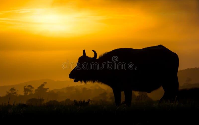 Silhueta africana do búfalo no por do sol imagem de stock royalty free