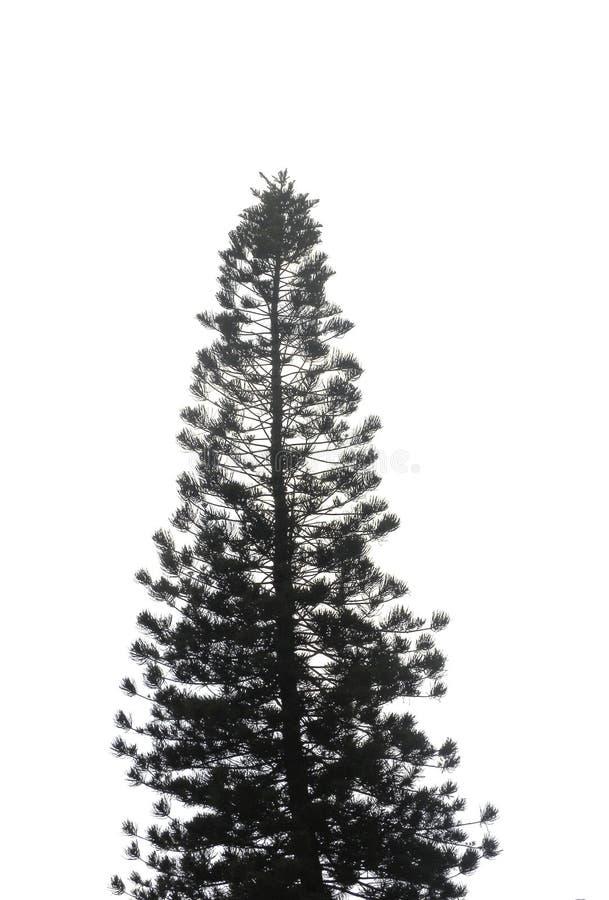 Silhueta da árvore conífera fotografia de stock royalty free