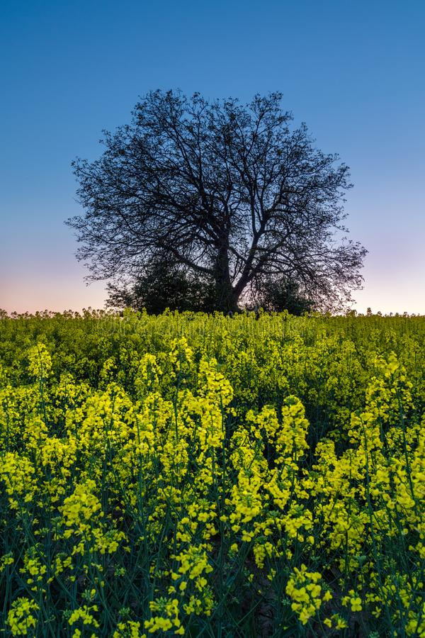 Silhueta da árvore no campo amarelo da colza Landscap da natureza do por do sol imagens de stock royalty free