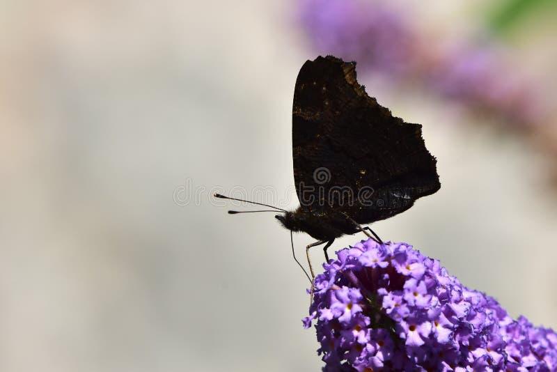 Silhueta da borboleta e davidii de Buddleja imagens de stock